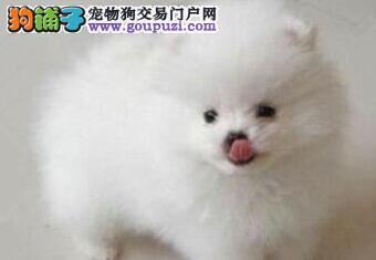 银川出售小体型白色哈多利球型博美幼犬宝宝 别错过哦