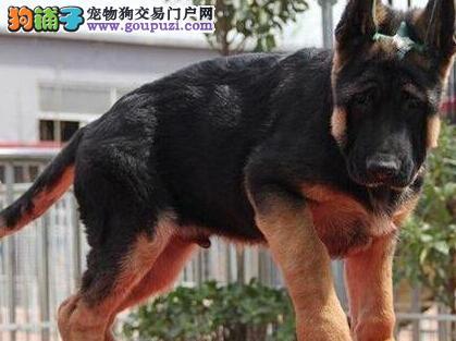 纯种德国牧羊犬直销、一宠一证证件齐全、三包终生协议