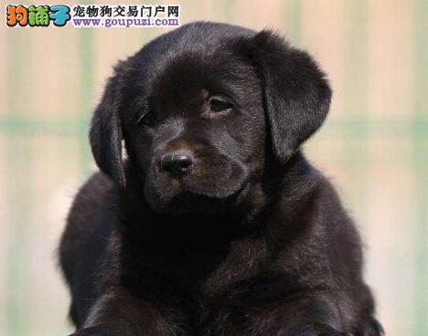 导盲犬拉布拉多银川出售 保纯保健康 终身免费饲养指导