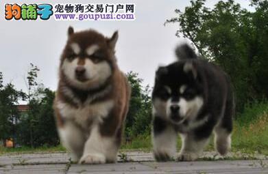 高品质巨型 红色 黑色阿拉斯加雪橇犬犬舍诚信出