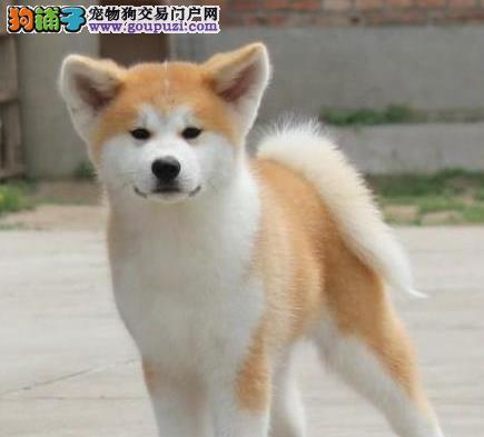 快来瞧银川正宗的小秋田幼犬 想找个温馨家 不要错过哦