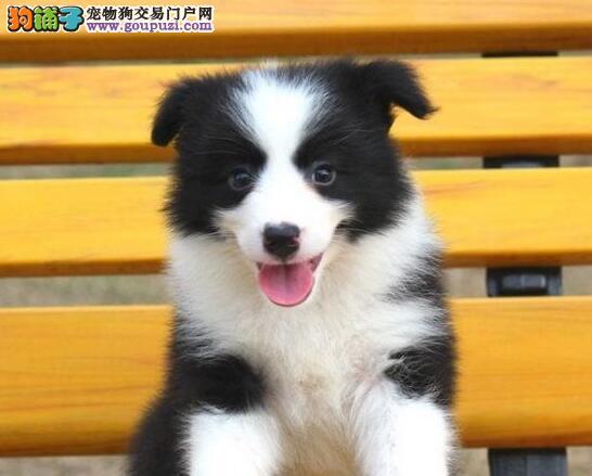 基地热卖顶级品质边境牧羊犬广州地区购买可优惠