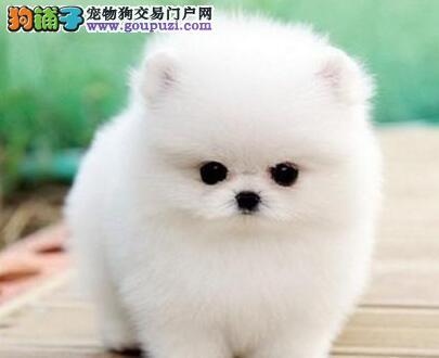 超大毛量的博美犬特价优惠出售中 贵阳市内免费送货