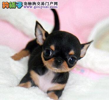 家养多只北京吉娃娃宝宝出售中CKU认证品质绝对保障