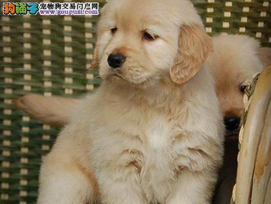 繁殖基地转让超大毛量的石家庄金毛犬 签订购犬协议书