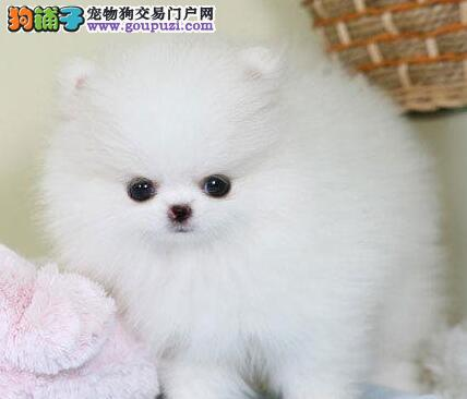 博美犬幼犬出售中,国际血统品相好,三包终生协议