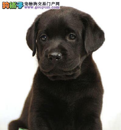 拉布拉多最大的正规犬舍完美售后微信咨询看狗狗视频