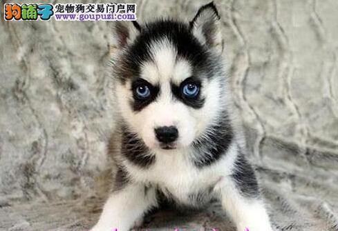 昆明正规犬舍出售哈士奇 蓝眼三把火包纯种