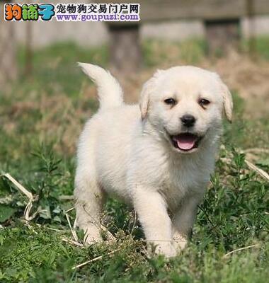 武汉最大犬舍出售多种颜色拉布拉多保终身送用品
