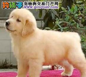 金毛幼犬出售中 自家繁殖保健康 签订终身合同