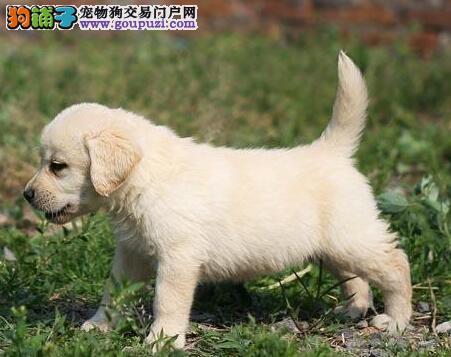 佛山自家繁殖拉布拉多犬促销好品相质保出售