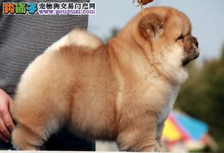 十分文静的海口松狮犬低价出售 紫色舌头毛量丰厚
