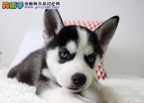 吉林犬舍出售实物拍摄的哈士奇幼犬 三把火双蓝眼