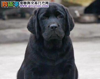 低价出售疫苗驱虫齐全的南昌拉布拉多犬 可送货上门