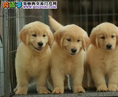 武汉专业精心培育出售可爱金毛宝宝 包健康包你喜欢