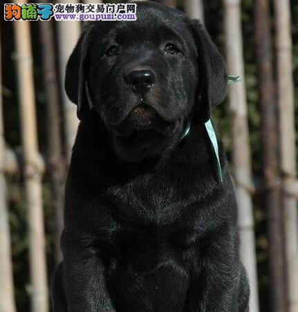 出售拉拉幼犬 拉布拉多导盲犬 纯种健康签协议有血统