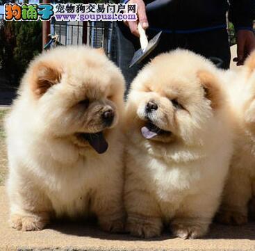 苏州繁殖基地出售多种颜色的松狮微信选狗直接视频