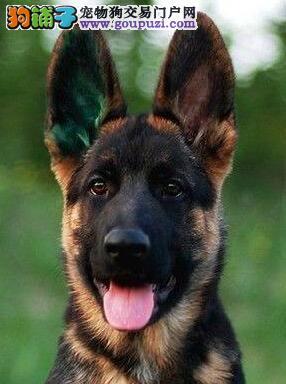 正规狗场直销纯种锤系运城德国牧羊犬 高品质低价钱