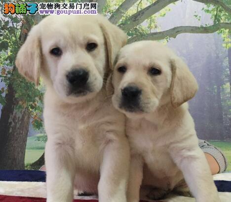 贵阳出售纯种拉布拉多导盲犬 黑色咖啡色白色黄色可选