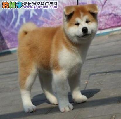 基地热销纯种贵阳秋田犬 公母都有已驱虫欢迎视频看狗