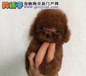 直销出售优秀血统泰迪犬亲自到济宁购买可看狗谈价格