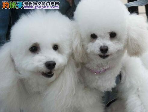 成都出售活泼可爱的泰迪熊幼犬,喜欢的欢迎上门来挑选