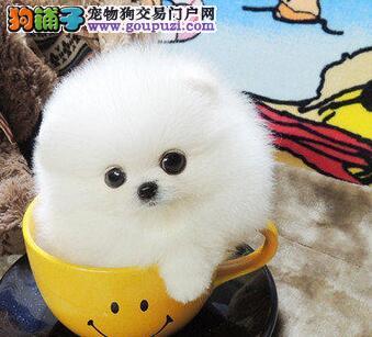 黄南州最大犬舍出售多种颜色博美犬签订三包合同