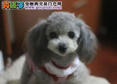贵宾犬幼崽出售中 三针齐全保健康 三年联保协议