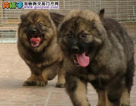 重庆基地多只高加索犬促销中 购买可签订活体协议