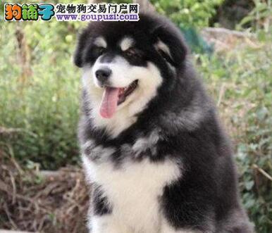 专业正规犬舍热卖优秀的三亚阿拉斯加犬签订终身纯种健康协议