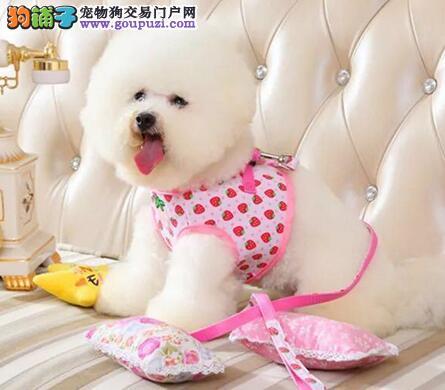 顶级郑州比熊犬特价直销 卷毛品相好小体很可爱