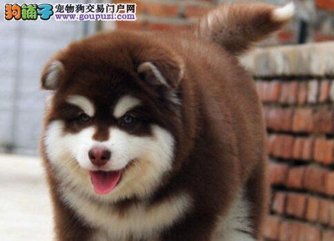 重庆哪里可以买到健康的阿拉斯加犬 纯种阿拉斯加价格