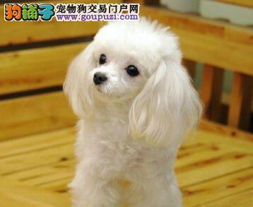 特价直销纯正韩国血系贵宾犬 杭州地区有实体犬舍