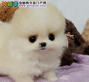 顶级博美犬宝宝、假一赔十质量保障、绝对信誉保证