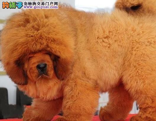 重庆自家犬舍繁殖的原生态藏獒低价转让 可来犬舍购买