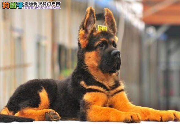 遂宁纯种德国牧羊犬幼犬出售 看家护院服从性好