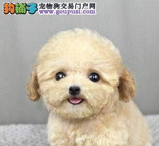韩系娃娃脸泰迪犬温州找新家 超小体纯血统 高品质