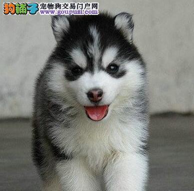 专业犬舍长期出售精品纯种惠州哈士奇 有意者请联系