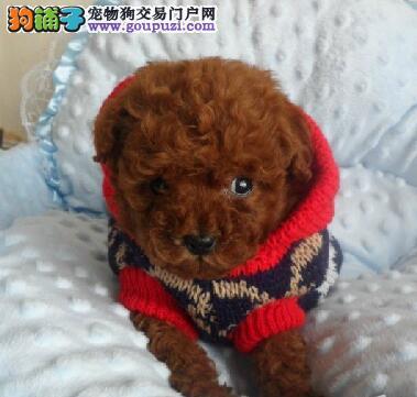高信誉养殖场出售纯种惠州贵宾犬 有血统证书和芯片