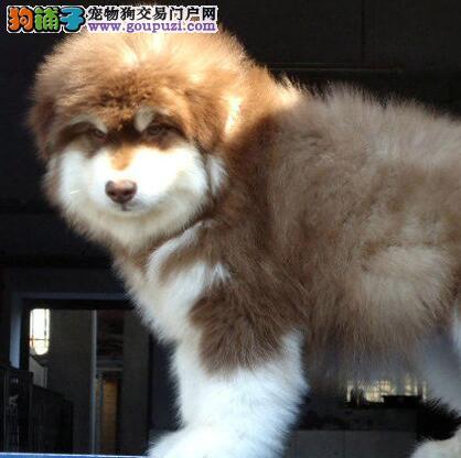 正宗双十字阿拉斯加雪橇犬宁波犬舍直销 可接受预定
