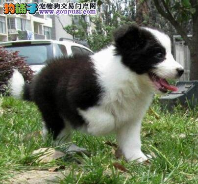 自家狗场繁殖惠州地区实体店出售极品健康边境牧羊犬