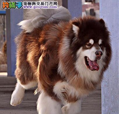 大骨量十字架南京阿拉斯加犬低价出售 实物拍摄