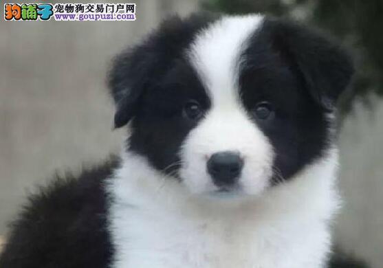 纯种家养的边境牧羊犬找新主人 南京的朋友可上门看狗