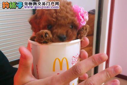 血统纯正多种颜色的南京贵宾犬找新家 售后三包