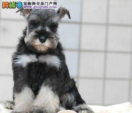 成都实体店低价促销赛级雪纳瑞幼犬价格美丽品质优良