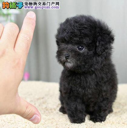 出售聪明伶俐的南京泰迪犬 无体味不掉毛 品相极佳