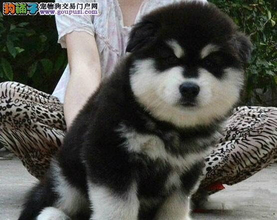 精品阿拉斯加雪橇犬直接出售 有意者可来西安犬舍