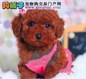 低价销售深圳赛级贵宾犬 带血统证书健康价格合理