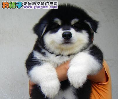 狗场热卖阿拉斯加雪橇犬成都市区内可送货到家
