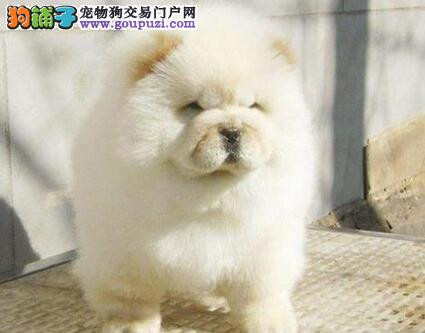 深圳狗场繁殖出售紫舌头松狮犬 肉嘴敦实十分可爱